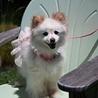 Adopt A Pet :: Princess - Fountain Valley, CA