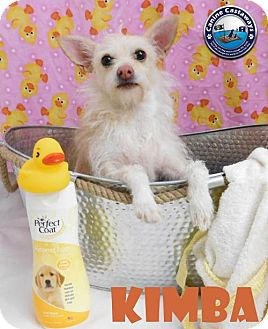 Cairn Terrier/Chihuahua Mix Dog for adoption in Arcadia, Florida - Kimba