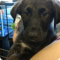 Adopt A Pet :: Zeus - Palatine/Kildeer/Buffalo Grove, IL