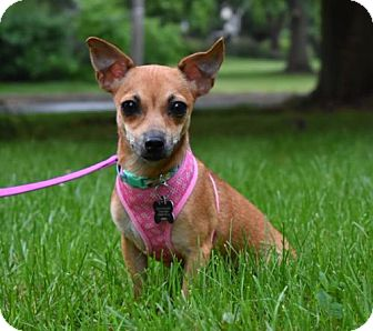 Chihuahua Mix Dog for adoption in Pennington, New Jersey - Shimi