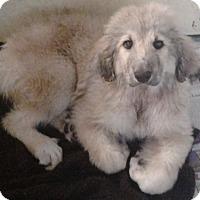 Adopt A Pet :: Cher - Kyle, TX