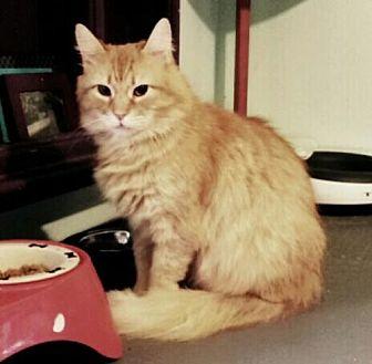 Domestic Mediumhair Cat for adoption in Bealeton, Virginia - Ridge