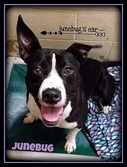 Bull Terrier/Border Collie Mix Dog for adoption in Hartford City, Indiana - Junebug