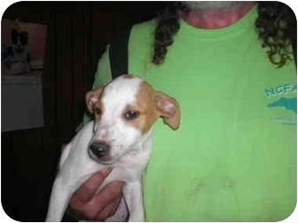 Jack Russell Terrier Puppy for adoption in Lexington, North Carolina - Winston