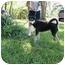 Photo 3 - Siberian Husky Mix Dog for adoption in Houston, Texas - Sebastion