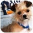 Photo 4 - Yorkie, Yorkshire Terrier/Brussels Griffon Mix Dog for adoption in Osseo, Minnesota - Bella