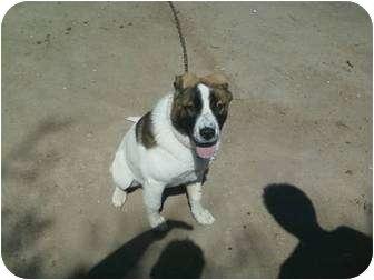St. Bernard Mix Dog for adoption in Yakima, Washington - Roscoe
