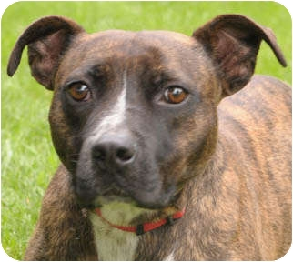 Boxer/American Staffordshire Terrier Mix Dog for adoption in Chicago, Illinois - Junior