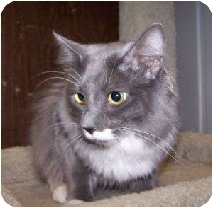 Domestic Longhair Cat for adoption in Colorado Springs, Colorado - Ninja