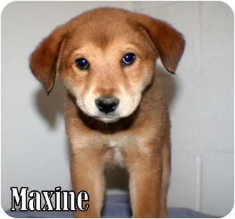 Shepherd (Unknown Type) Mix Puppy for adoption in Georgetown, South Carolina - Maxine