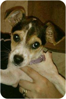 Jack Russell Terrier/Chihuahua Mix Puppy for adoption in BLACKWELL, Oklahoma - Sugar