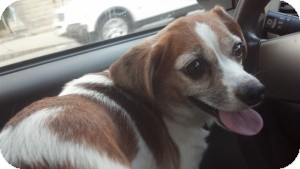 Jack Russell Terrier/Beagle Mix Dog for adoption in Worcester, Massachusetts - Sweet Pea