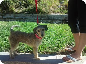 Terrier (Unknown Type, Small)/Border Terrier Mix Dog for adoption in Burbank, California - SANDY