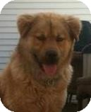 Chow Chow Mix Dog for adoption in Brooklyn, New York - Bear