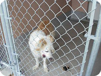 Collie/Labrador Retriever Mix Dog for adoption in Cannington, Ontario - Barney