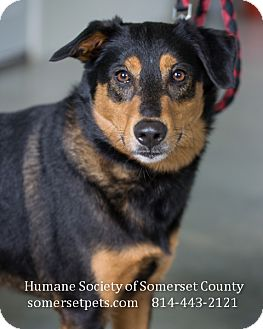 Rottweiler/Shepherd (Unknown Type) Mix Dog for adoption in Somerset, Pennsylvania - Bear