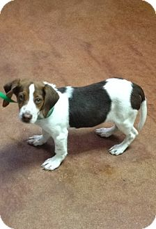 Hound (Unknown Type) Mix Puppy for adoption in East Hartford, Connecticut - Mark ADOPTION PENDING
