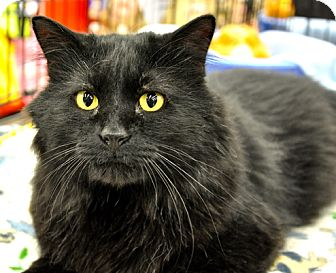 Domestic Mediumhair Cat for adoption in Great Falls, Montana - Silly Mac