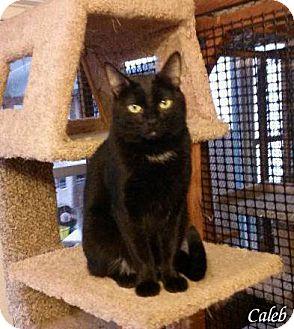 Domestic Shorthair Cat for adoption in Alamo, California - Caleb