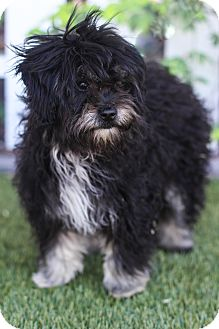 Lhasa Apso/Yorkie, Yorkshire Terrier Mix Puppy for adoption in Auburn, California - Cookie
