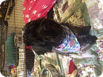 Poodle (Miniature) Mix Dog for adoption in Boca Raton, Florida - BJ