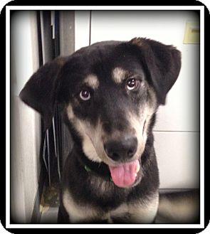 Husky Mix Dog for adoption in Indian Trail, North Carolina - Koda