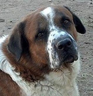 St. Bernard/Black Mouth Cur Mix Dog for adoption in Glendale, Arizona - MEMPHIS