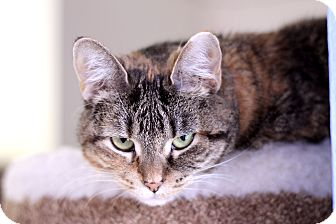 Domestic Shorthair Cat for adoption in Chicago, Illinois - Heatherette