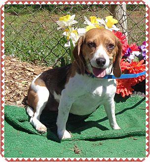 Beagle Dog for adoption in Marietta, Georgia - LUCY