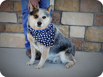 Australian Cattle Dog Dog for adoption in Artesia, New Mexico - Blue