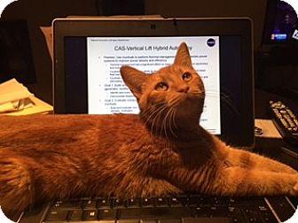 Domestic Shorthair Cat for adoption in Arlington, Virginia - Cinnamon (Unique Orange Female