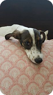Jack Russell Terrier Mix Puppy for adoption in Scottsdale, Arizona - Odie