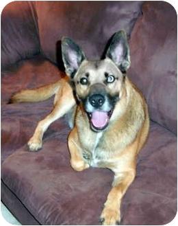 Siberian Husky/Shiba Inu Mix Dog for adoption in Boyertown, Pennsylvania - Martin