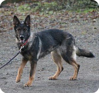 German Shepherd Dog Dog for adoption in Federal Way, Washington - Jinn - Tenino