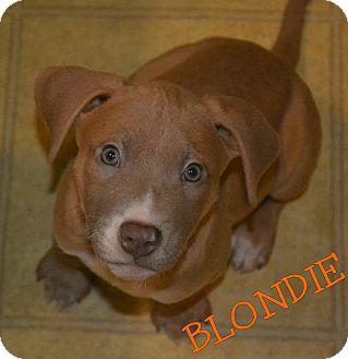 Labrador Retriever/Boxer Mix Puppy for adoption in Colmar, Pennsylvania - Blondie