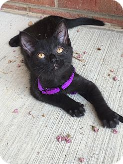 Domestic Shorthair Kitten for adoption in Germantown, Tennessee - Kimi
