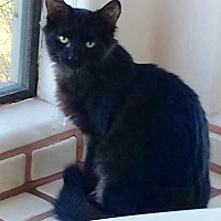 Adopt A Pet :: Pepper - with two white toes - Tucson, AZ