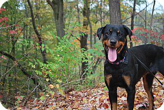 Rottweiler Mix Dog for adoption in New Castle, Pennsylvania - Sasha