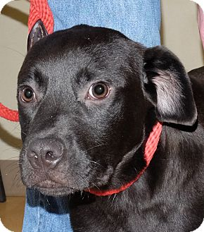 Labrador Retriever Mix Puppy for adoption in Spokane, Washington - Cadee