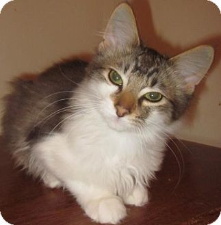 Domestic Shorthair Kitten for adoption in Springfield, Oregon - Tuck