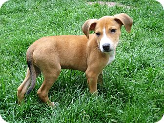 Pit Bull Terrier Mix Puppy for adoption in Sagaponack, New York - Henry