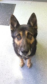German Shepherd Dog/Shepherd (Unknown Type) Mix Dog for adoption in Harrison, New York - Seg