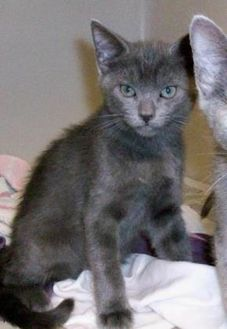 Domestic Shorthair/Domestic Shorthair Mix Cat for adoption in Fairfax Station, Virginia - Alfonso