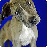 Adopt A Pet :: CORKY - LAFAYETTE, LA