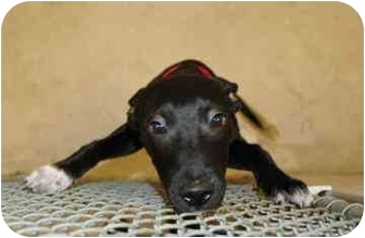 Labrador Retriever/Beagle Mix Puppy for adoption in Walker, Michigan - Lucy