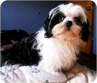 Shih Tzu Puppy for adoption in Latrobe, Pennsylvania - Walter