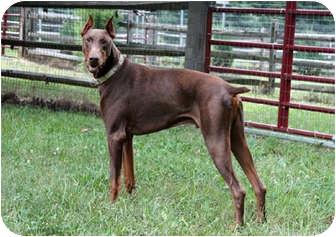 Doberman Pinscher Dog for adoption in Greensboro, North Carolina - Rex