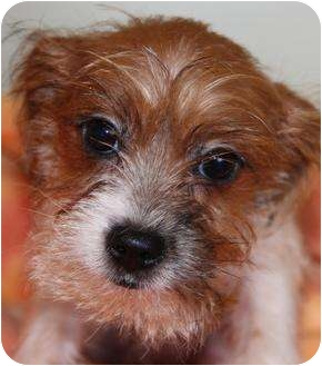 Shih Tzu/Yorkie, Yorkshire Terrier Mix Puppy for adoption in San Pedro, California - Lilith