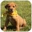 Photo 3 - Labrador Retriever/Husky Mix Puppy for adoption in Cranford, New Jersey - Honey