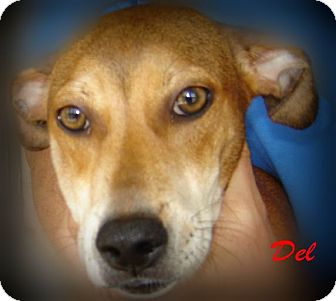 Labrador Retriever Mix Puppy for adoption in Beaumont, Texas - Del